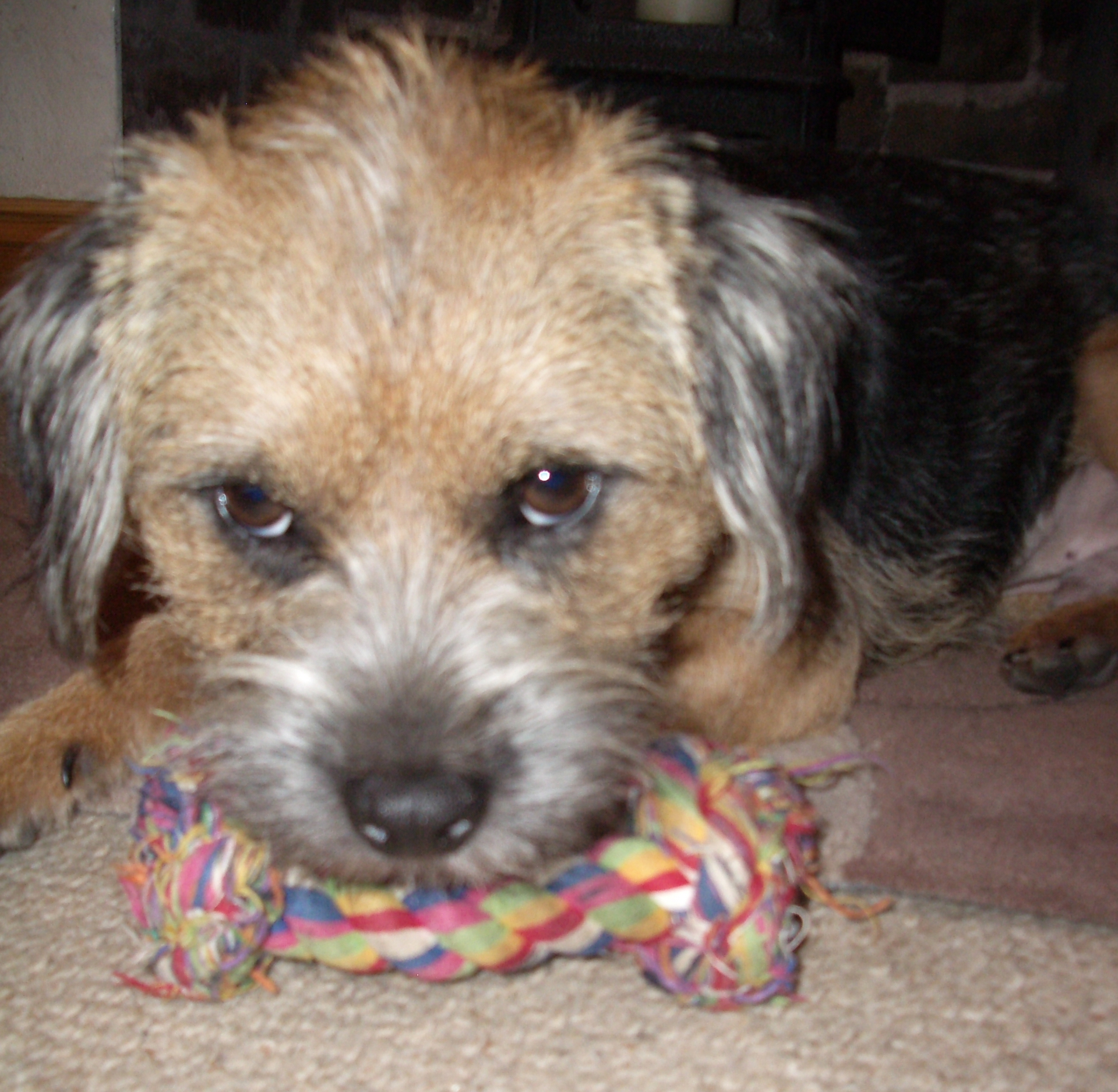 Biff the Border Terrier who works at woodenart making cat runs and